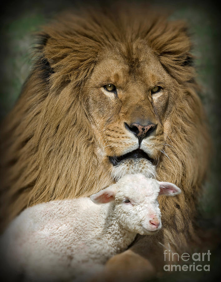 Lion And Lamb Photograph - True Companions by Wildlife Fine Art