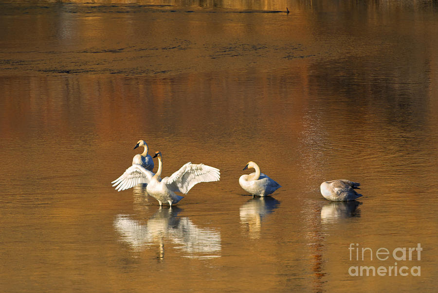 Swan Photograph - Trumpeter Ballet by Mike  Dawson