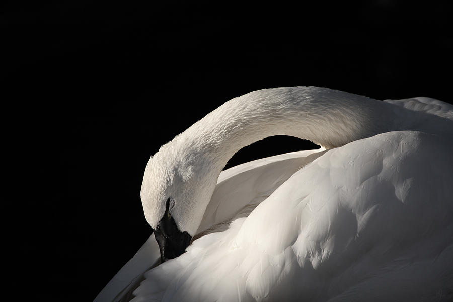 Swan Photograph - Trumpeter by Karol Livote