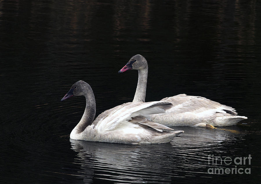 Trumpeter Swan Photograph - Trumpeter Swan Cygnets by Sharon Talson