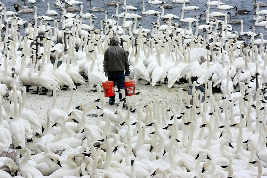 Swan Photograph - Trumpeter Swan Feeding Time by Amanda Stadther