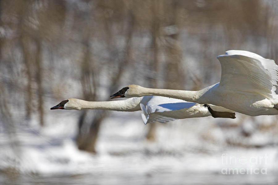 Trumpeter Photograph - Trumpeter Swan Flyby  by Tim Grams