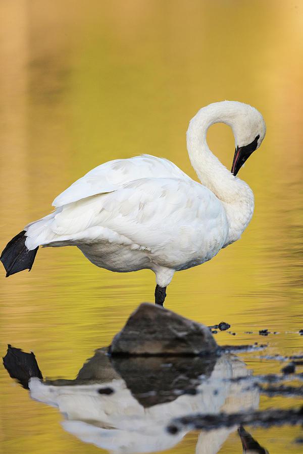 Alum Creek Photograph - Trumpeter Swan Preening, Cygnus by Maresa Pryor