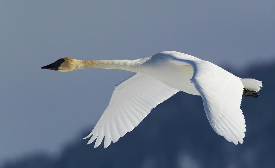 Cygnus Buccinator Photograph - Trumpeter Swan, Winter Flight by Ken Archer