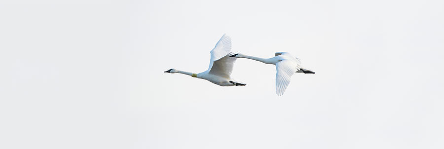 Horizontal Photograph - Trumpeter Swans In Flight, Riverlands by Animal Images