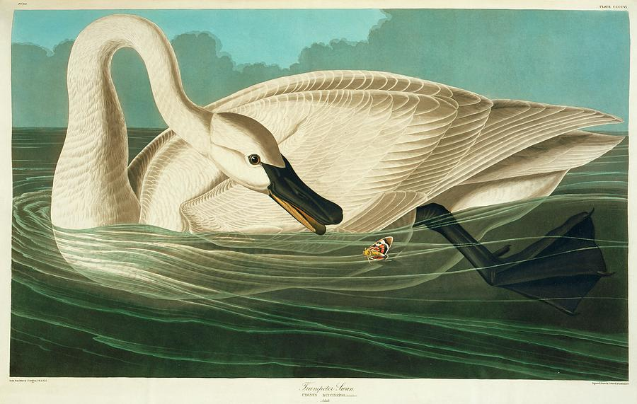 Illustration Photograph - Trumpter Swan by Natural History Museum, London/science Photo Library