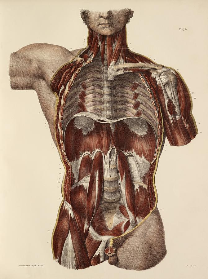 Trunk Muscle Anatomy, 1831 Artwork Photograph by Science Photo Library