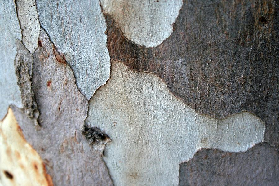 Bark Photograph - Trunk Of A Eucalyptus Tree  by Taiche Acrylic Art