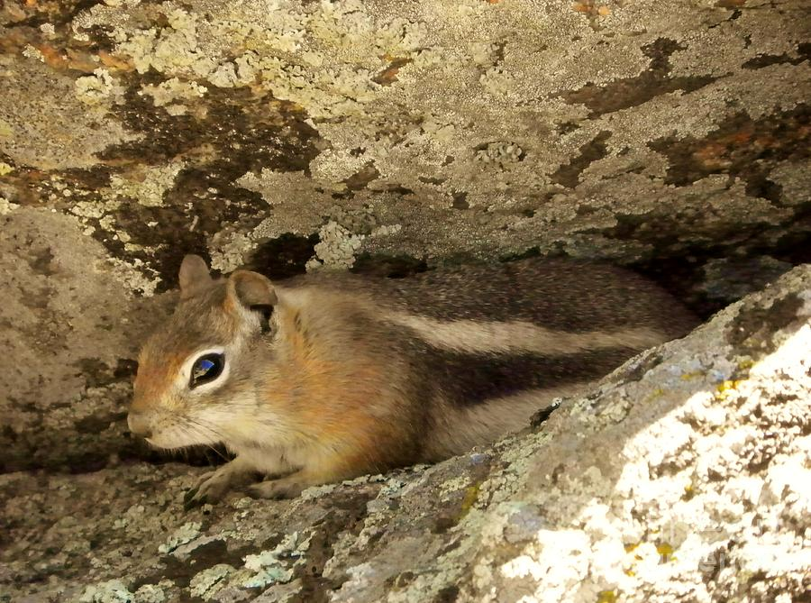 Chipmunk Painting - Tucked Away by Michelle Bentham