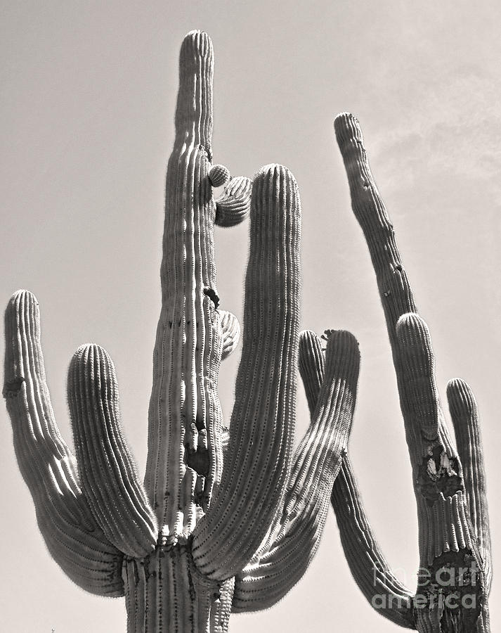 Tucson Photograph - Tucson Arizona Sepia Catus by Gregory Dyer