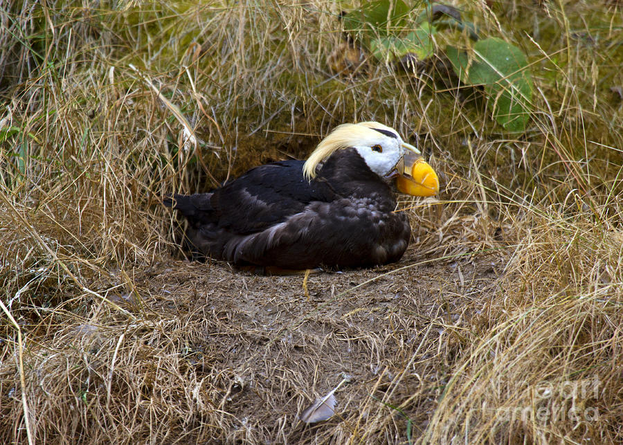 Puffin Photograph - Tufted Puffin by Mike  Dawson