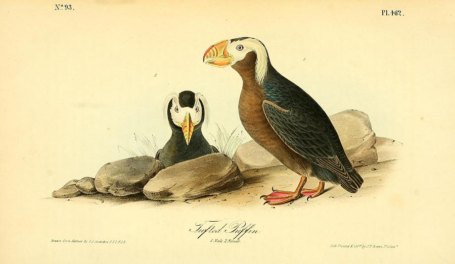 Audubon Painting - Tufted Puffins by Philip Ralley