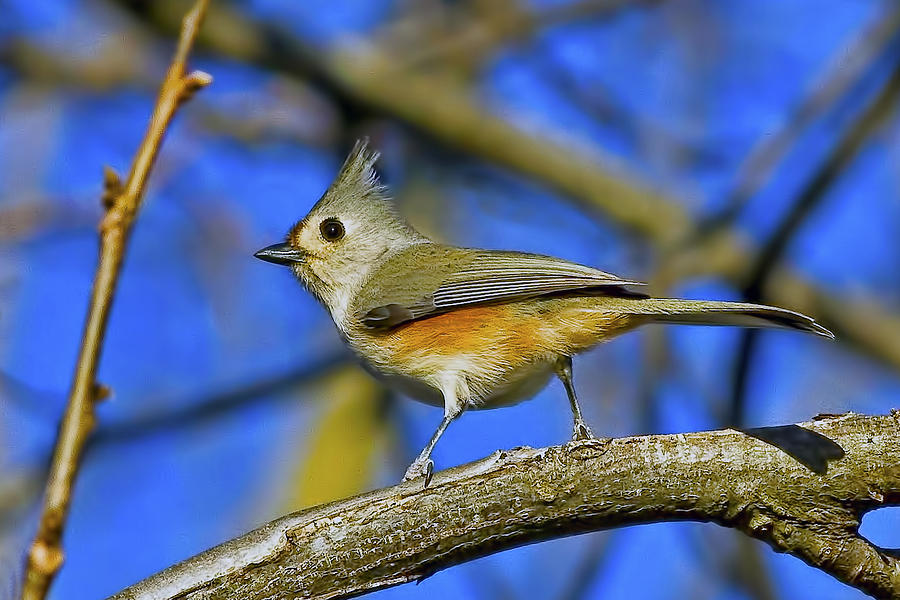 Titmouse Photograph - Tufted Titmouse by Gary Holmes