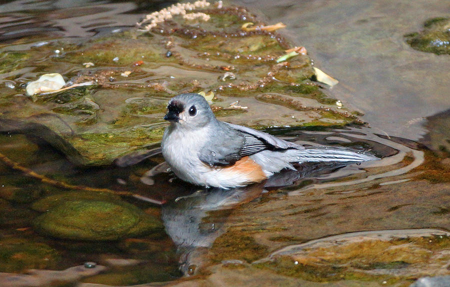 Tufted Titmouse Photograph - Tufted Titmouse In Pond by Sandy Keeton