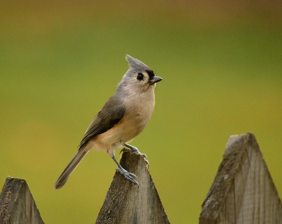 Tufted Titmouse Photograph - Tufted Titmouse by Judy Genovese