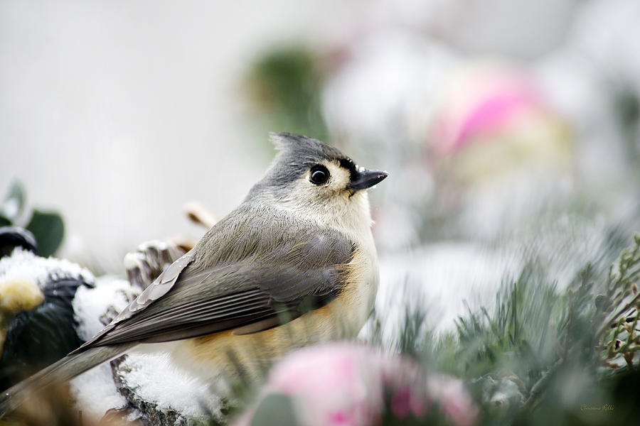 Bird Photograph - Tufted Titmouse Portrait by Christina Rollo