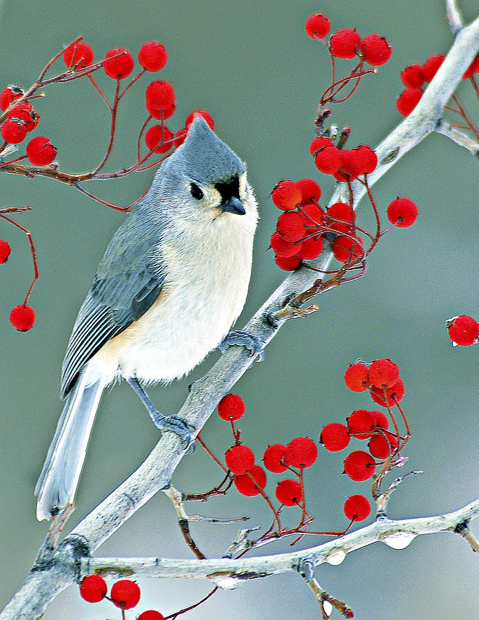 Tufted Titmouse by Pristine Images