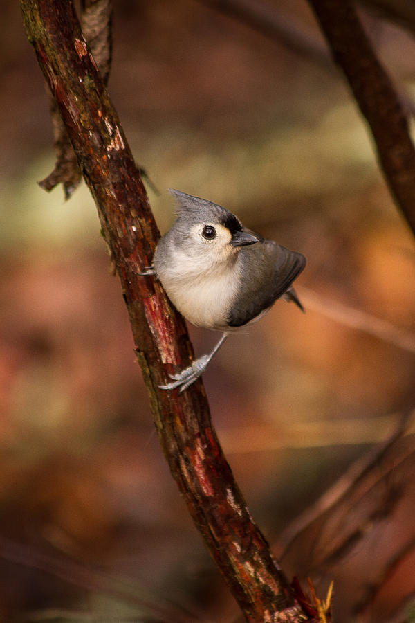 Tufted Photograph - Tufted Titmouse Winter 2012 by Nathaniel Kidd