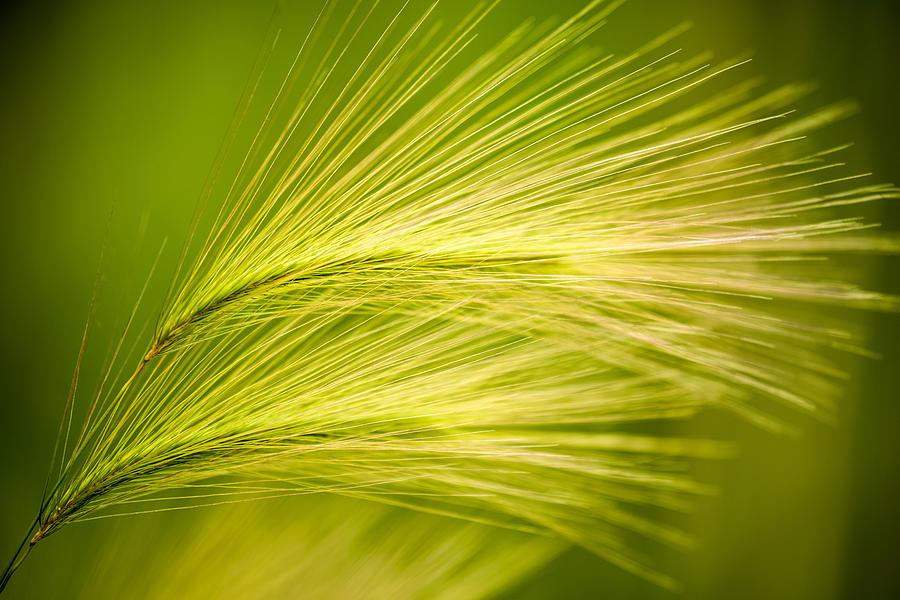 Ornamental Grass Photograph - Tufts Of Ornamental Grass by  Onyonet  Photo Studios