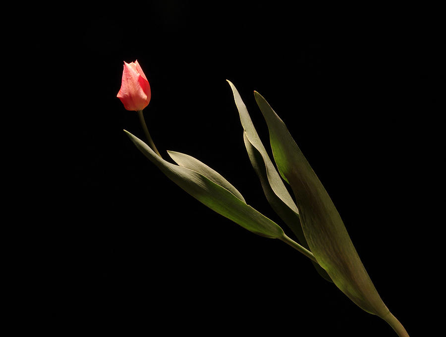 Tulip 1 Photograph by Vince  Risner