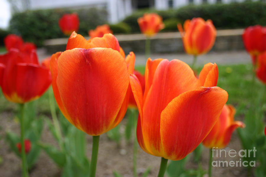 Tulip Collection Photo 2 by Rusty Green