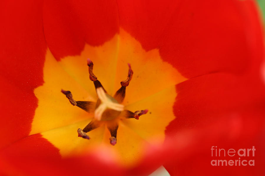 Tulip Collection Photo 3 by Rusty Green