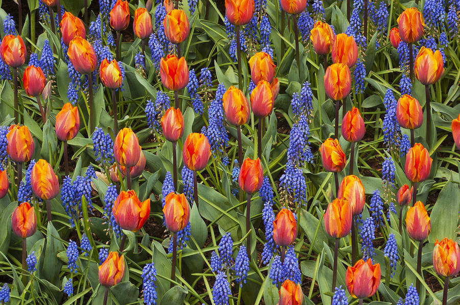 Tulip And Grape Hyacinth Photograph by Kevin Schafer