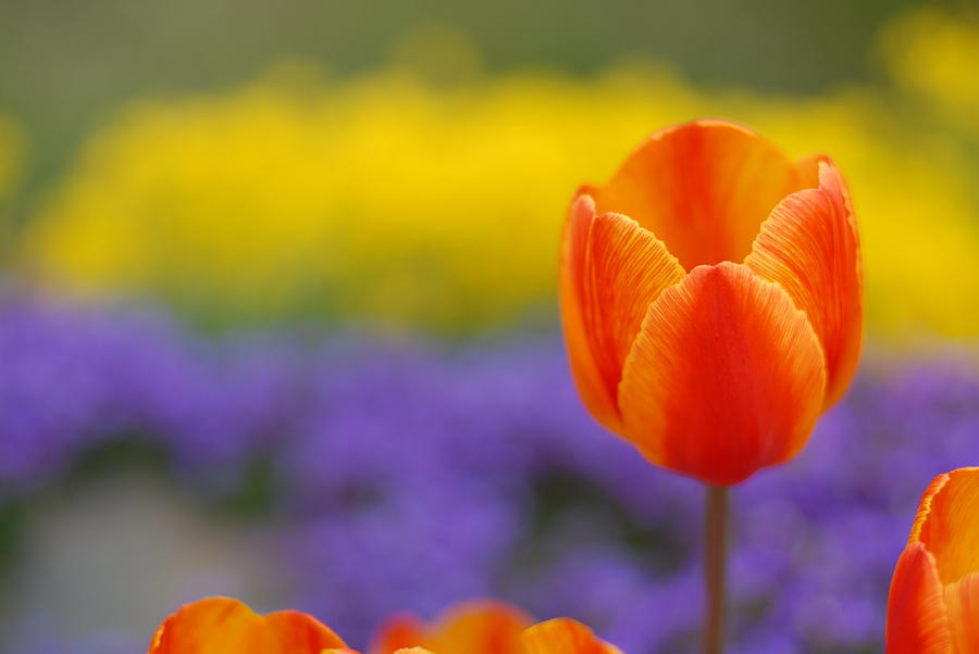 Flower Photograph - Tulip by Clifford Pugliese