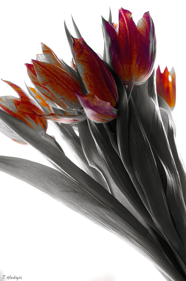 Tulips Photograph - Tulip Color Block by Joseph Hedaya
