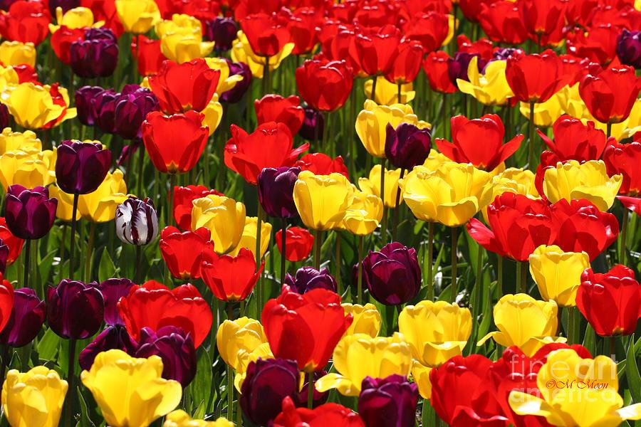 Tulip Colors Photograph
