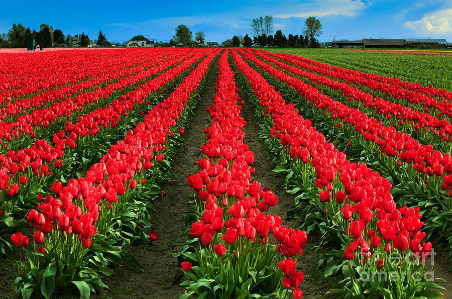 America Photograph - Tulip Cornucopia by Inge Johnsson