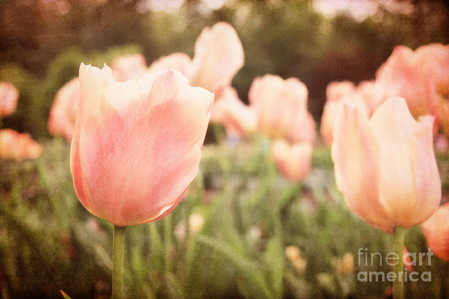 Tulips Photograph - Tulip Dreams by Emily Kay
