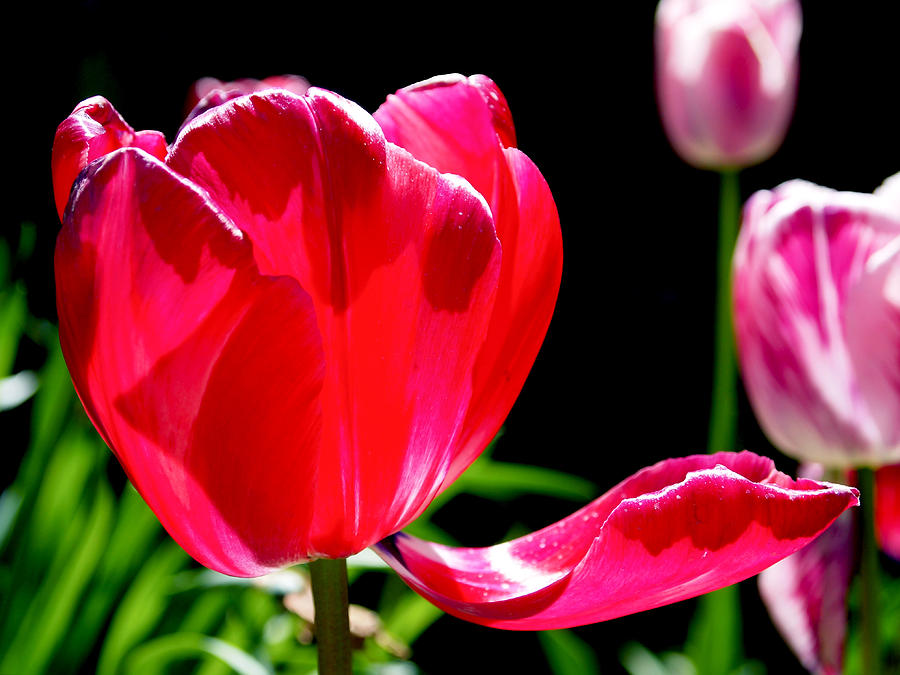 Tulip Photograph - Tulip Extended by Rona Black