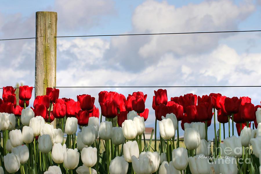 Tulip Farm - Pacific Northwest Washington State Photograph