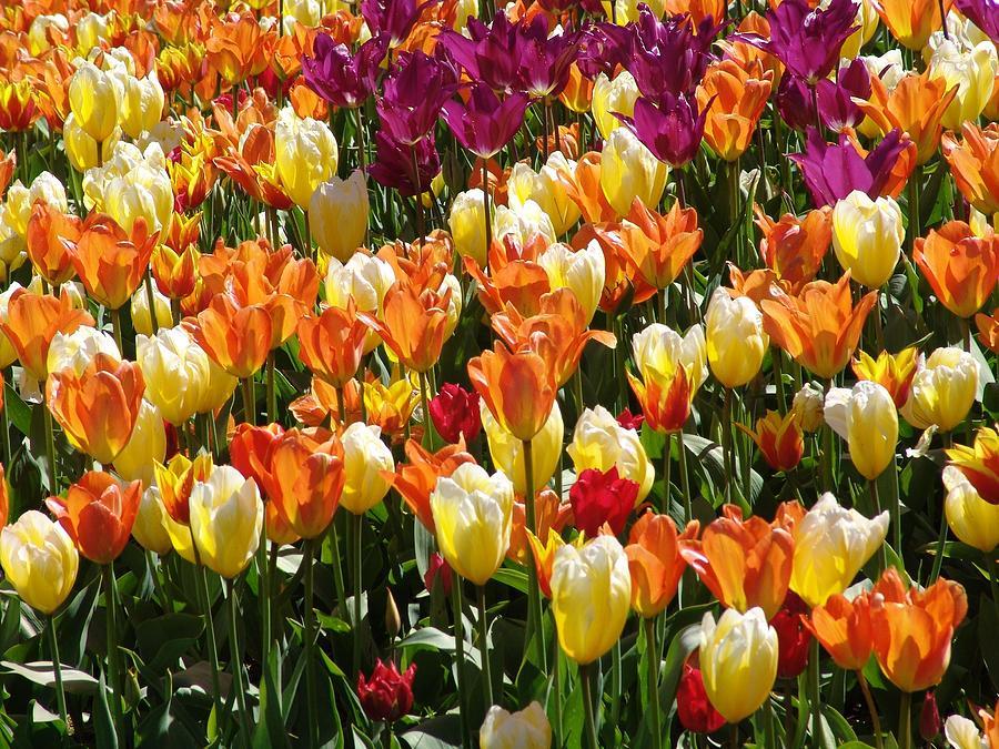 Victoria Mixed Media - Tulip-fest by Janet Ashworth
