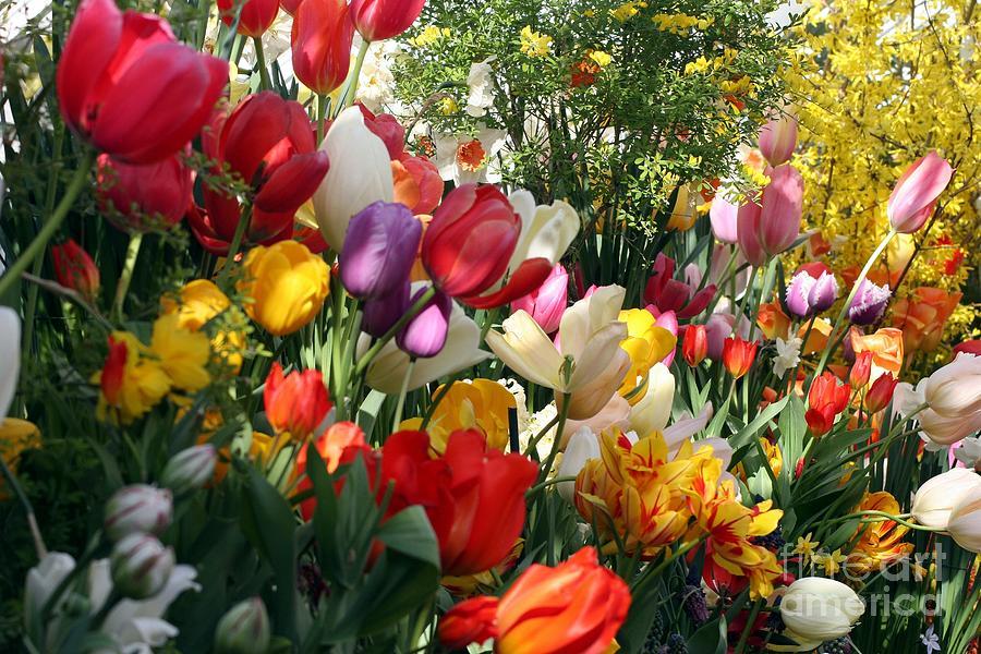 Tulip Festival Photograph