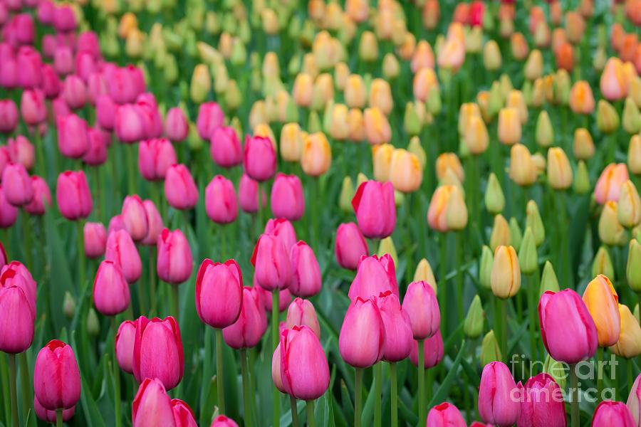Tulip Field by Katka Pruskova