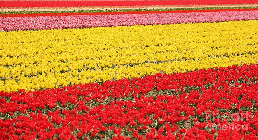 Tulips Photograph - Tulip Fields 1 by Jasna Buncic