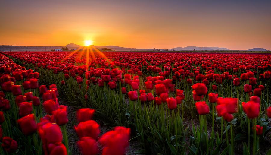 Tulip Photograph - Tulip Fields by Alexis Birkill