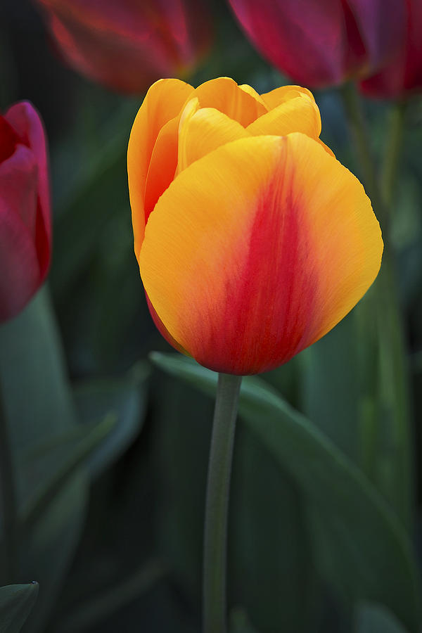 Tulip Flame Photograph by David Lunde