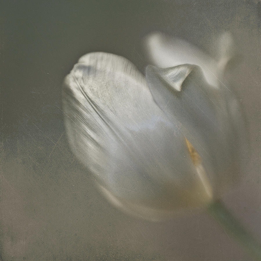 Tulip I by Kevin Bergen