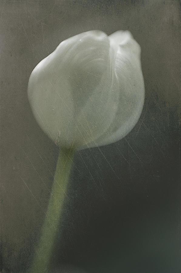 Tulip II by Kevin Bergen