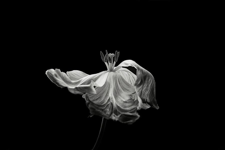 Tulip Photograph - Tulip by Lotte Gr?nkj?r