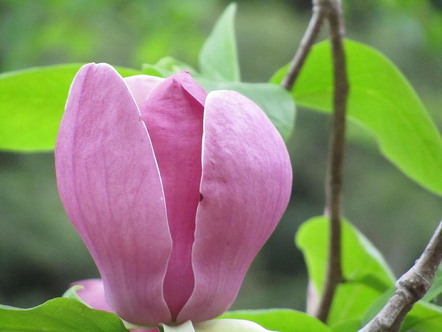 Tulip Love Photograph by Stephanie Francis
