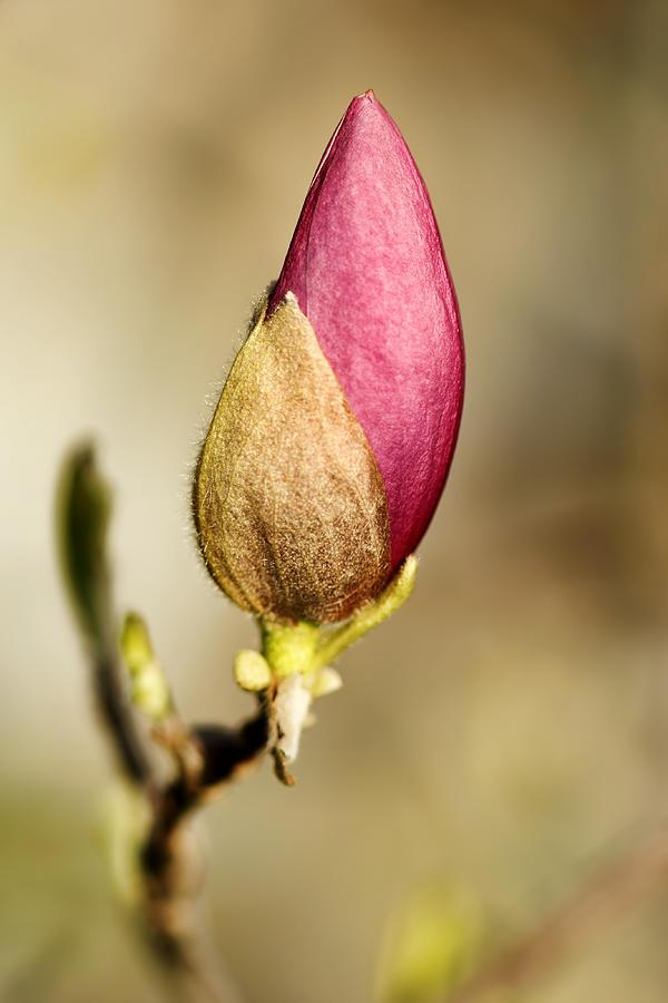 Tulip Magnolia Bud by Nikolyn McDonald