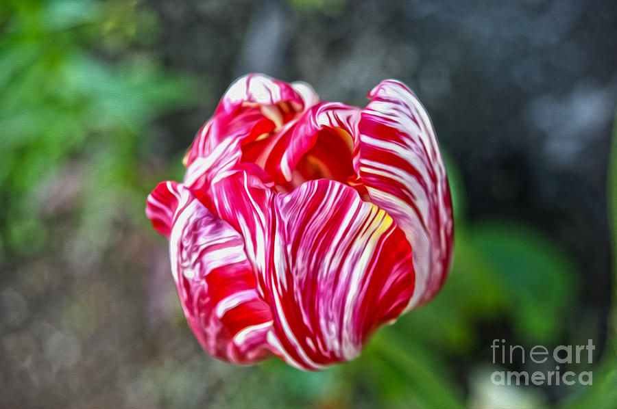 Flower Photograph - Tulip by Nur Roy