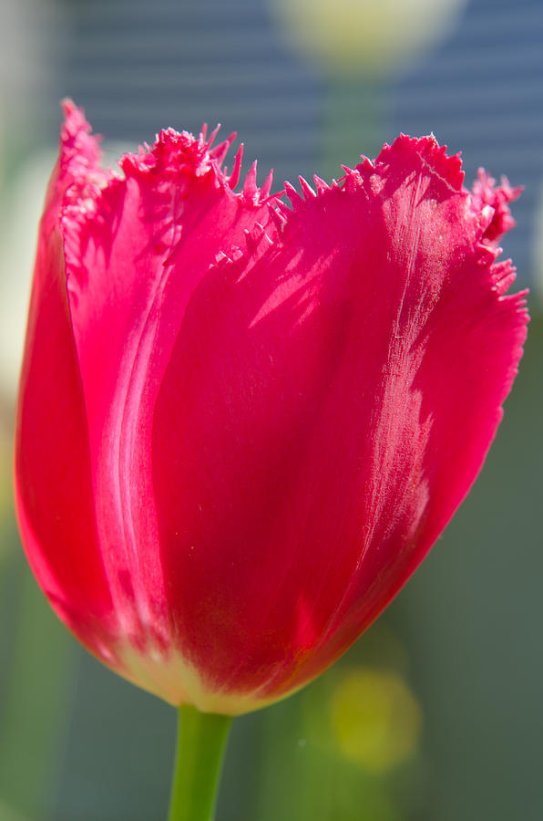 Spring Photograph - Tulip on the gray background by Michael Goyberg