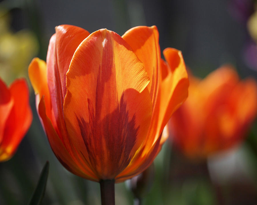Tulips Photograph - Tulip Prinses Irene by Rona Black