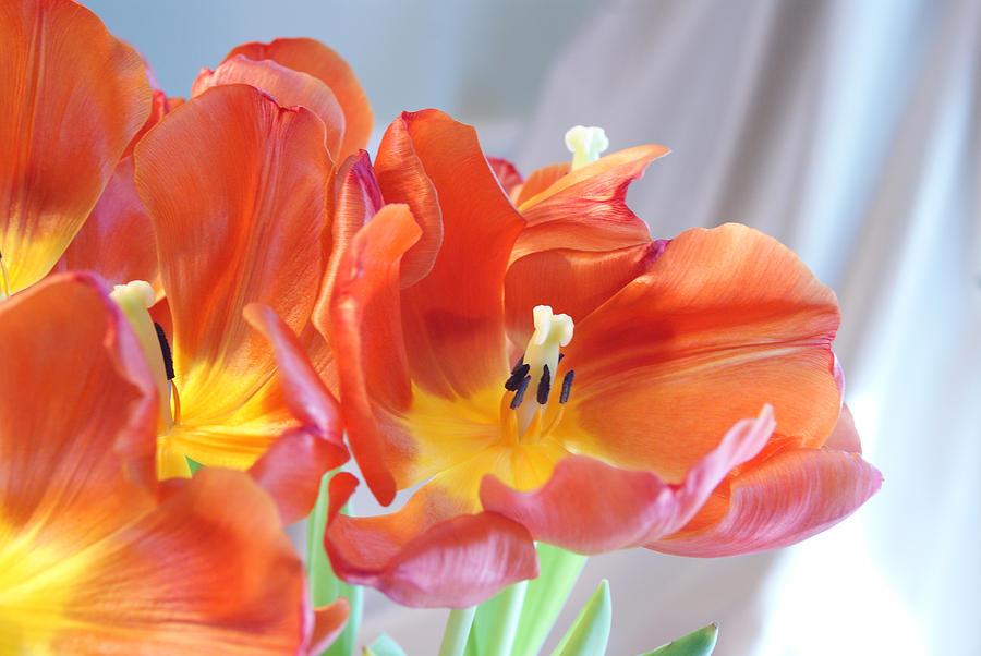Tulips Photograph - Tulip Profusion by Margie Avellino