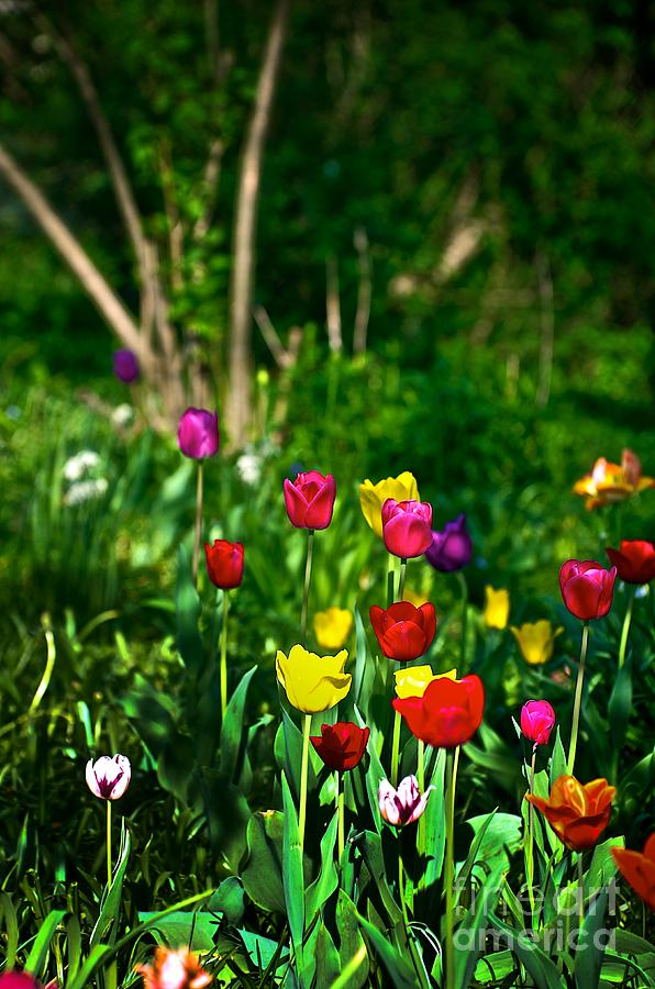 Tulip Rainbow Photograph